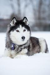 Tasha (John Sieber) Tags: dog snow montana missoula siberianhusky dogportrait