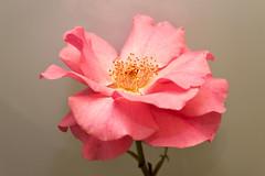 Rose (37) (arfi_arfi) Tags: flowers red roses plants plant flower color macro art colors beauty rose garden petals flora artistic rosepetals artisticphotography flowerart flowerscolors amazingdetails