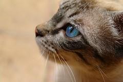 Chat (Pittou2) Tags: luc nx samung france byluc pittou2 chat cat animal animaldecompagnie oeil moustache nez