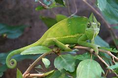 DSC01828 (Christine Gerhardt) Tags: deutschland zoo stuttgart chameleon echse wilhelma tierfoto flickrtreffen2013sep08