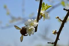 Mamangava polinizadora 002 (Parchen) Tags: flores flor abelha inseto bombus mamangaba polinização mamangava polinizadora polinizando besouromangangá vespaderodeio marimbondomanganga parchen carlosparchen abelhaderodeio