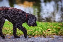 A Dog Walk in the Park (Samantha Decker) Tags: dog ny newyork upstate saratogasprings congresspark canonef135mmf2lusm sdny canoneos6d scottkelbysworldwidephotowalk samanthadecker adobephotoshopcs6