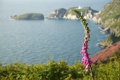 Foxglove, Lundy Island (chrisotruro) Tags: morning blue sea sunlight green spring purple harbour cliffs maritime foxglove wildflower lundyisland