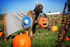 Trick or Treat! (d.rizzle) Tags: seattle pumpkinpatch viking dolcegambino