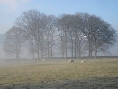 Edale, foggy morning (richardplant72) Tags: trees fog frost sheep foggy grazing edale copse