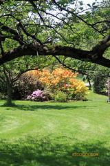 Rhododendron 81 (riccpics) Tags: trees fleurs garden botanical bush jardin arbres bloom botanique arbustre