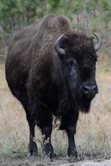 Bison in Custer State Park. (Mark Mathu) Tags: southdakota blackhills buffalo wildlife bison custerstatepark markmathu