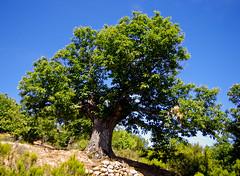 Castanyers del Bierzo / A Chesnut tree (SBA73) Tags: espaa tree nature arbol spain len arbre spanien castao bierzo castilla espanya lasmdulas spagne castaneasativa castillaleon orelln castanyer