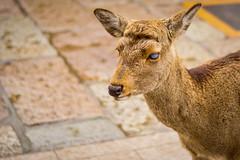 Blind Deer at Nara Park (Ehren Mannebach) Tags: japan deer nara narapark naradeer