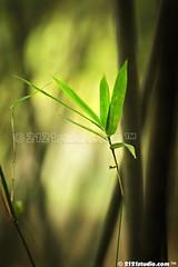 Bamboo Leaf (2121studio) Tags: nature giant nikon panda ali research breeding malaysia chengdu songpan indah sichuan base kuantan alam   nikonian malaysianphotographer traveltochina 2121studio kuantanphotographer pahangphotographer ciptaanallahswt  magicallandofmainlandchina