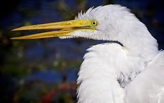 Great Wet Egret (Feathered Trail Photos) Tags: nj egret smugmug audubon njbirds avianexcellence fabuleuse