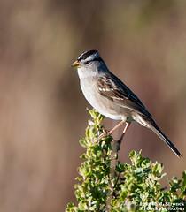 White-crowned Sparrow (Bob Stronck) Tags: avian sanmateocounty whitecrownedsparrow zonotrichialeucophrys pescaderomarshnaturalpreserve stronckphotocom birdsofsanfranciscobay ©2013rmstronck