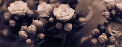 a sweet memory (t1ggr) Tags: flowers samsung bloom csc mygearandme mygearandmepremium mygearandmebronze mygearandmesilver mygearandmegold mygearandmeplatinum ringexcellence dblringexcellence tplringexcellence eltringexcellence nx1100