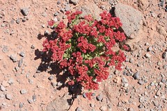Some colourful plant life in the Atacama desert