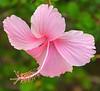 Pink Hibiscus (Oldt1mer - Keith) Tags: africa pink sunlight holiday flower hotel petals sony hibiscus stamen mallow banjul thegambia a65 mygearandme mygearandmepremium flickrstruereflection1 flickrstruereflection2 sonya65 slta65 laicoatlantic