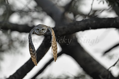 Spotted Owlet in flight (dickysingh) Tags: wild india color bird nature animal forest fly wings eyes wildlife jungle owl stare predator alert spottedowlet athenebrama ranthambhorenationalpark flightflying smallowl