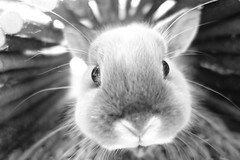 Śakra !! (Mark Philpott) Tags: old boy portrait bw pet baby white house black macro rabbit bunny netherlands monochrome face closeup mouth fur nose grey eyes soft play close dwarf blu smoke sony 28mm lounge fluffy 8 ears wideangle tunnel whiskers months marten loved nofilter unedited wooded rx100 śakra