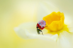 Stepping Out (Jacky Parker Floral Art) Tags: red flower macro closeup bug garden insect one spring flora wildlife beetle creative fresh single bloom ladybug format winged freshness florafauna narcissus newgrowth blackspots floralart coccinellaseptempunctata fragility beautyinnature landscapeorientation 7spot doffodil laybird differentialfocus