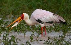 Yellow-billed Stork (Mycteria ibis) (Ian N. White) Tags: gaborone botswana yellowbilledstork mycteriaibis