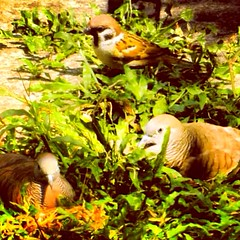 #THREE (Lens_sky05) Tags: nature three nikon sweet dove lovers loveit sparrow takingabreak photooftheday picofday colorvibefilter