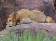 Lion (Steve Selwood) Tags: lion disneythemeparkdisneyanimalkingdomorlandothemeparks