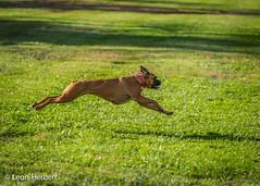 Boxer levitation (leonjherbert) Tags: ohio usa dog animal zoo glendale g cincinnati events parks places boxer date breed lakepark roxie cincinnatizoo dogname leonherbertphotography 20131019 dogscapades spookypooch2013