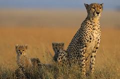 gueparde et 3 petitsCopier (Olivier DARMON) Tags: kenya lion mara giraffe elephants animaux afrique leopards gnous msai guepards zbres