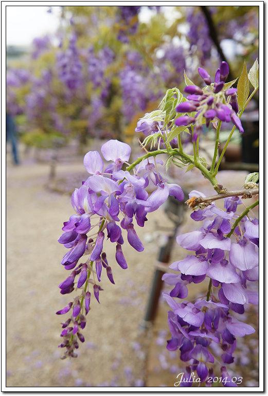紫藤、老梅 (19)