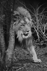 image (Eva O'Brien) Tags: blackandwhite animal animals zoo nikon wildlife lion conservation bigcat lincolnparkzoo lincolnpark mane lincolnparkconservatory zooanimals zooanimal 55300mm d3100 nikond3100 evacares evaobrien
