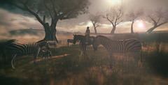 Zebra family...@Devin (AlienmausAllen) Tags: devin devin2 explore wildlife animals sunset desert zebra horse ride erkunden sl secondlife