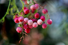 Change of seasons - pink peppercorns (tess01b) Tags: nature naturescene flora pink outdoor save earth fantastic bokeh theworldinpink earthnaturelife