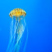 Japanese sea nettle 3 - National Aquarium