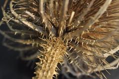 Prick (Natalie Coles) Tags: prick plant plants macro photography flower spikes sharp thorns