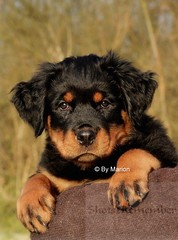 Rottweiler Pup # Ready for the World # Alert and Confident (ShotsOfMarion) Tags: shotsofmarion shots2remember flickr nikon hund hond dog perro cane chien hondenfotografie dpgphotography puppy duitsland hondenras rottweiler rottweilerpup rottweilerpuppy