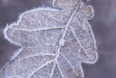 The beauty of a frozen leaf (Jessie van Weert) Tags: wonderful explore extreme extreem red dynamic mysterious dynamisch outdoor outside sun sunshine interesting impressive incredible nikon d3100 nice light orange oranje photography plant plants adorable atmosphere autumn staatsbosbeheer depthoffield depth dof detail flickr fotografie fabulous forest focus gorgeous holland bijzonder texture closeup beautiful netherlands nature ngc natuur natuurgebied macro winter frozen leave ice