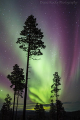 Extreme Husky Aurora Chasing...Finland...Ivalo (Celebrating over 2 million views. Thank you) Tags: extremehuskysledding aurorachasing ivalo finland northernlights trees pine snow green pinks cold sami guide light evening night familyholiday cameraseesmorethantheeye