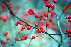 Red (ella~d) Tags: red corals fruits branches outside