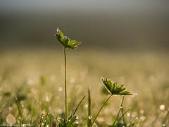 im Morgenlicht (somareja*pictures) Tags: olympusem10 outdoor olympusdigital bokeh tropfen licht tau morgenstimmung gegenlichtaufnahme gräser flickr markusreber somarejapictures