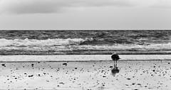 Watching (Greelow) Tags: greelow nikon d7000 new zealand nouvelle zélande oiseau bird sea mer vague wave coast côte sand sable water eau nature wild sauvage wildlife vie regard watching watch black white
