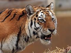amurtiger Colinda Ouwehands BB2A1706 (j.a.kok) Tags: amurtiger amoertijger tijger tiger siberischetijger siberiantiger pantheratigrisaltaica kat cat asia azie colinda ouwehands ouwehandsdierenpark