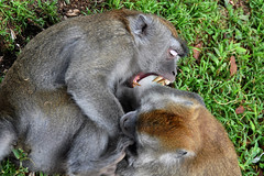 Bukittinggi - You Got Me Mad Now ! (Drriss & Marrionn) Tags: travel bukittinggi outdoor sumatra indonesia asia southeastasia sianokcanyon kotogadangvalley animal animals macacafascicularis crabeatingmacaque longtailedmacaque monkey monkeys mammal ape cercopithecidae cynomolgusmonkey brown makaku macaca omnivore taxonomy:binomial=macacafascicularis taxonomy:genus=macaca taxonomy:species=fascicularis taxonomy:subtribe=macacina taxonomy:tribe=papionini taxonomy:subfamily=cercopithecinae taxonomy:family=cercopithecidae taxonomy:superfamily=cercopithecoidea taxonomy:infraorder=haplorhini taxonomy:suborder=euprimates taxonomy:order=primates taxonomy:magnorder=boreoeutheria taxonomy:cohort=placentalia taxonomy:infraclass=eutheria taxonomy:class=mammalia macaque primates dslrlevel01