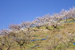 20170219南部梅林4996 (K.masao) Tags: plumblossoms flowers nature japanmasaokatayama