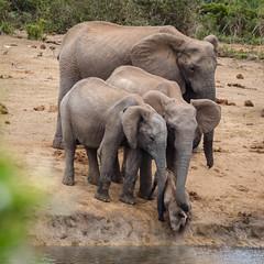 Solidarité familiale.jpg (BoCat31) Tags: afrique faunesauvage aventure famille sauvetage solidarité
