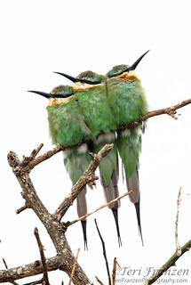 Roosting Bee-eaters