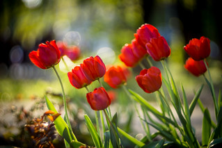 Russian Tulips