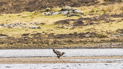 Young Sea Eagle (prajpix) Tags: sea eagle juvenile loch water river bird prey raptor whitetailed ullapool highlands rosshire westerross scotland ornithology nature rhidorroch