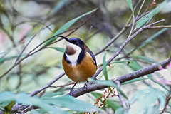 Eastern Spinebill (Rodger1943) Tags: spinebills easternspinebill honeyeaters australianbirds fz1000
