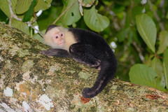 Wild Capuchin monkey (brian eagar - very busy - not much time to comment) Tags: costarica2017springapril mischievous costarica 2017 spring april springbreak monkey capuchin capuchinmonkey mammal jungle animal wild nature cahuitanationalpark limonprovince tree green leaf bark fuji xt2 100400