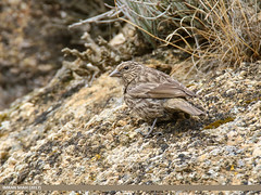 Red-fronted Rosefinch (Carpodacus puniceus) (gilgit2) Tags: avifauna birds canon canoneos7dmarkii category duikar fauna feathers geotagged gilgitbaltistan hunza imranshah location pakistan redfrontedrosefinchcarpodacuspuniceus species tags tamron tamronsp150600mmf563divcusd wildlife wings gilgit2 carpodacuspuniceus