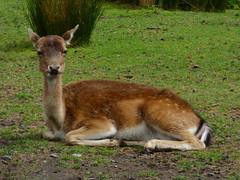 For He's a Very Good Fallow (Steve Taylor (Photography)) Tags: fallow deer resting animal brown green newzealand nz southisland canterbury christchurch grass